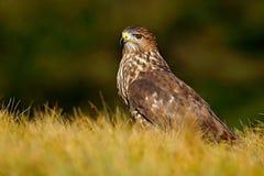 Живая природа в Словакии Охотник в траве Птицы молят общий канюка, канюка канюка, сидя в траве с запачканной зеленой передней час Стоковая Фотография