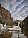 Живая природа лебедей Стоковое Фото
