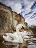 Живая природа лебедей Стоковое Изображение