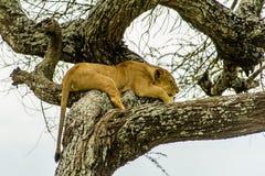 Живая природа - лев спать Стоковое фото RF