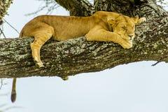 Живая природа - лев спать Стоковое Изображение RF
