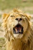 Живая природа - лев Стоковые Изображения