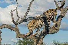 Живая природа - леопард Стоковая Фотография