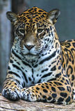 живая природа животного портрета panthera onca ягуара одичалая Стоковые Изображения RF