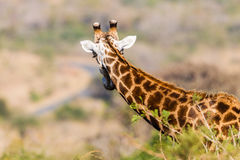 Живая природа жирафа Whos приходя бдительная Стоковые Изображения RF