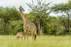 Живая природа - жираф Стоковая Фотография