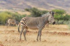 Живая природа - зебра Стоковые Фото