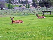 Живая природа национального парка Йеллоустона Стоковое Изображение RF