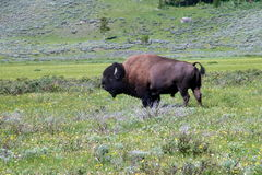 Живая природа 7 национального парка Йеллоустона Стоковая Фотография RF