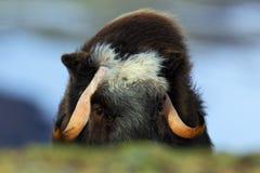 Живая природа от Норвегии Вол мускуса, moschatus Ovibos, с горой Snoheta на заднем плане, большое животное в среду обитания приро Стоковые Изображения
