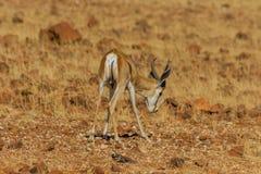 Живая природа - прыгун Стоковое фото RF