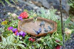 Живая природа птицы крапивниковые Австралии Стоковое Изображение RF