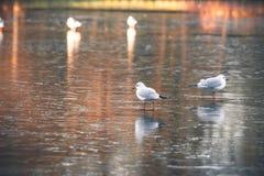 Живая природа птицы на замороженном озере Стоковое Фото