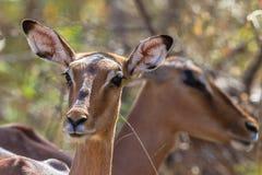 Живая природа самца оленя бдительной импалы женская Стоковое Изображение