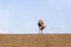 Живая природа сна самца оленя Стоковая Фотография RF