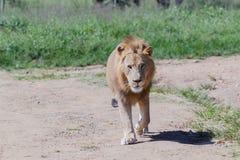 Живая природа льва Стоковое Фото
