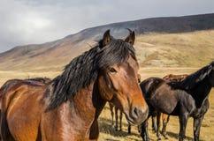 Живая природа Altai Одичалые коричневые лошади пася в дне степи Стоковое Изображение RF