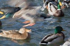 Живая природа ducks на красивым просить кровоточенный озером и бое еда Стоковое Изображение