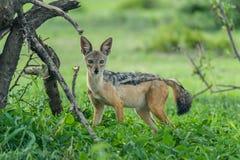 Живая природа - Jackal стоковая фотография