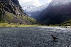 Живая природа NZ NZL Kea - Новой Зеландии стоковое изображение