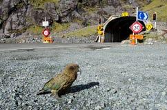 Живая природа NZ NZL Kea - Новой Зеландии стоковые изображения