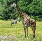 Живая природа Savana африканца Стоковое фото RF