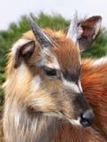 Живая природа Sitatunga Marshbuck Африки антилопы Стоковое фото RF
