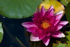 Живая розовая лилия воды Стоковое Фото