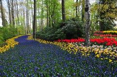 Живая фиолетовая кровать цветков пути или реки в Нидерландах Сила весеннего времени в саде keukenhof, Голландии Стоковые Изображения