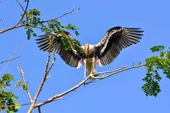 Живейший покрашенный аист (leucocephalus Ibis) Стоковое Изображение