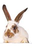 живет одна белизна кролика Стоковые Фото