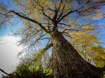 Живое дерево вербы с детальной расшивой Стоковая Фотография RF