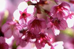Живое розовое цветене Сакуры, вишневый цвет Стоковое Изображение RF