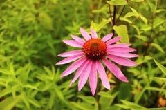 Живое розовое цветене wildflower полностью Стоковая Фотография