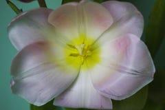 Живое цветня нектара тюльпана цветка красивое внешнее Стоковое Фото