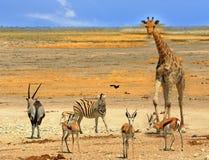Живое waterhole в национальном парке Etosha, Намибии, южном afr Стоковые Изображения