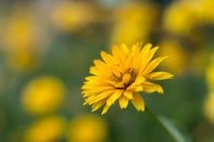 Живой желтый одуванчик Стоковые Фотографии RF