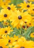 Живой желтый цвет черно-наблюдал цветки Susan зацветая в формате портрета сада лета Стоковое фото RF