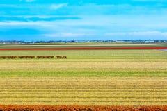 Живой желтый daffodil и красное поле цветков тюльпана, голубое облачное небо Стоковые Изображения RF