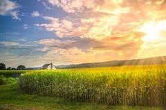 Живой заход солнца в кукурузном поле с лучами солнца Стоковое Фото