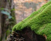 Живой зеленый мох и грибок на упаденном журнале стоковые фотографии rf