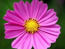 Живой пурпурный цветок и свои тычинка и Pistil стоковые фото