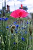 Живой розовый мак в поле Стоковое фото RF