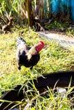 Живой цыпленок поднимая в естественном Стоковая Фотография