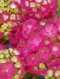 Живой Hortensia цветет конец-вверх стоковая фотография