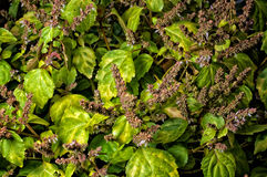 Живой patchouly в цветени стоковое изображение rf
