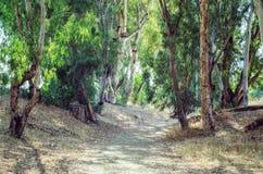 Живописная тропа между деревьями евкалипта Стоковые Фотографии RF