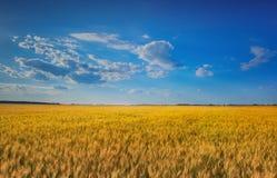 Живописное зрелое, золот-коричневое поле, желтая пшеница на заходе солнца Стоковая Фотография