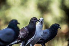 Живописные голуби Стоковое Изображение RF