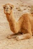 Живописный верблюд дромадера пустыни лежа на песке и смотря в камеру Стоковое фото RF